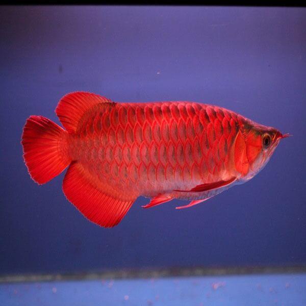 Cá rồng là loại cá cảnh nên nuôi trong hồ thuỷ sinh - Cách đặt bể cá thuỷ sinh cho người mệnh Thuỷ